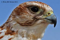 Raptor Profile 165 copy (Tess Mc Kenna Home) Tags: nature birds closeup photography ngc profile npc raptor cannon prey raptors birdofprey sligo2