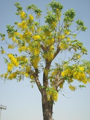 Cassia fistula, Golden Shower tree or ,  (cpmkutty) Tags: fabaceae cassiafistula caesalpiniaceae goldenshowertree kanikonna