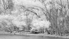 Sur le bord de la rivire ... (bbferrand) Tags: wood blackandwhite canada nature forest automne river noiretblanc quebec montreal rivire 169 fort bois feuilles pleinair 1771 infrarouge madameb riviredesprairies canon60d parcnaturedelledelavisitation madameb 28octobre2012