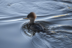 Female Hooded Merganser (AnotherSaru - Off and on for a few weeks) Tags: bird wet water female swimming duck pond nikon wildlife lagoon sharp ripples hoodedmerganser d600 deatils tamron70300mmlens