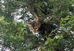 Remind me how I get back down (BasiliskSam) Tags: cats kali kittens bengal