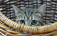 Big Eyes (fauxto_digit) Tags: cats cat furry kitties felines adoptable sheltercats hokafi