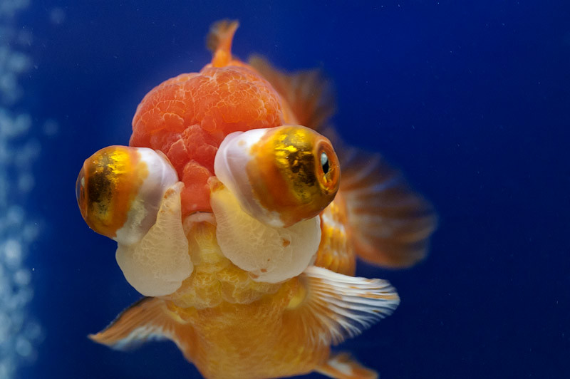 The World S Best Photos Of Oranda And Ryukin Flickr Hive