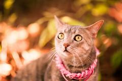 Lacey (Julian Schroeder) Tags: portrait animal cat nikon feline 85mm f18 18g d700 f18g highqualityanimals