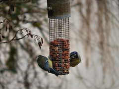 Two tits feeding (Maher Images) Tags: uk blue england bird nature birds tits feeding nuts reserve feeder isle wight flooded alverstone