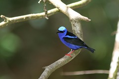 Red-legged Honeycreeper (parulidaephotos) Tags: redlegged honeycreeper