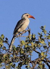 Red-billed Hornbill (Ingeborg van Leeuwen) Tags: birds ethiopia hornbill awash tockuserythrorhynchus tockus erythrorhynchus nonpasserines