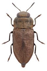 Anthaxia quadripunctata (Linnaeus, 1758)  (Nikola Rahme) Tags: animal animals bug insect beetle insects bugs beetles arthropods animalia arthropoda arthropod coleoptera insecta buprestidae buprestid polyphaga metallicwoodboringbeetle metallicwoodboringbeetles anthaxia buprestoidea buprestinae