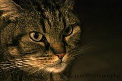 Lu (FranArtPhotography) Tags: animal animals cat canon photography eos photo foto fotografia gatto animali animale 1100d