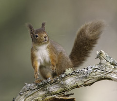 Red Squirrel (David C Walker 1967) Tags: winter nature scotland wildlife scottish cairngorms redsquirrel cairngormsnationalpark specanimal caledonianpineforest natureobserved nikond3s