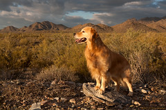 Duffy (Tom_Morris Photos) Tags: sunset dog mountains goldenretriever hiking