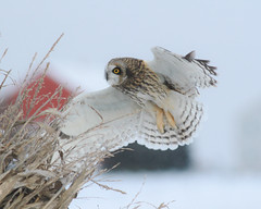 Short-eared Owl (mattlev12) Tags: owl shorteared