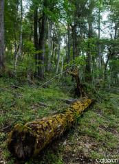 Tronquito (SmaugLC) Tags: patagonia tree argentina forest arbol nationalpark log bosque tronco sma sanmartindelosandes neuquen nqn parquenacionallanin chachin