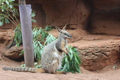 Yellow-footed Rock Wallaby, Wild Life Sy by holidaypointau, on Flickr