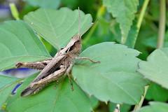 トノサマ�ッタ (Migratory locust) by Dakiny, on Flickr