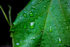 Rain & Leaf (Murtaza Mahmud) Tags: travel pakistan macro green fruits leaf waterdrops