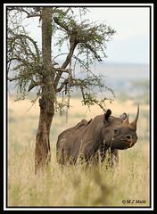 BLACK RHINOCEROS (Diceros bicornis).....NAIROBI NAT.PARK.....OCT 2012 (M Z Malik) Tags: africa nikon kenya wildlife ngc safari nairobinatpark d3x allofnatureswildlifelevel1 flickrrhinowatch exoticafricanwildlife 200400mm14afs