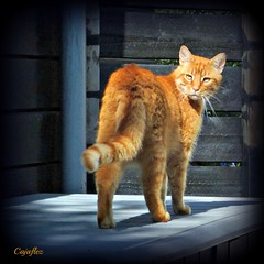 What is happening back there? (Cajaflez) Tags: orange pet male cat ginger kat chat looking panasonic katze gatto huisdier kater tomcat broer kijken mfcc rodekater saariysqualitypictures coth5 mygearandme mygearandmepremium mygearandmebronze mygearandmesilver mygearandmegold mygearandmeplatinum mygearandmediamond dmcfz150 rememberthatmomentlevel1