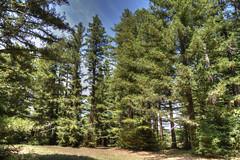 Pialligo Redwood forest, Canberra (Anna Calvert Photography) Tags: trees sky plants forest scenery australia canberra redwoods sequoia hdr 1918 giantredwoods coastalredwoods walterburleygriffin pialligoredwoodforest thomascharlesweston commonwealthhertiagelist