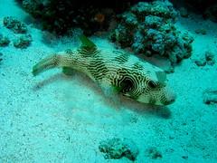 scuba diving pufferfish kugelfisch arothron hispidus