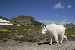 Canon 24-105 @ 24mm  Mountain Goat walking along trail, Montana (Tom Reichner) Tags: mountains nature animals canon landscape nationalpark wildlife scenic horns goat glacier northamerica environment glaciernationalpark habitat mountaingoat biggame wildanimals 24105mm wildlifephotography canon24105mmf4 24105mmf4is animalscape