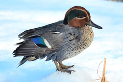 (Common Teal) (Dakiny) Tags: winter bird nikon jan january yokohama waterfowl   1    japanesebushwarbler 2013 japanesenightingale    aobaku  japanesebird     horornisdiphone    jpanaesebird moeginopark