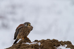 Common kestrel @ National park de Biesbosch (Marcel Tuit) Tags: winter snow holland bird ice me nature canon eos wildlife sneeuw nederland thenetherlands natuur 7d birdofprey vogel biesbosch noordbrabant ijs falcotinnunculus torenvalk commonkestrel roofvogel nationaalpark sigma150500 marceltuit winter2013