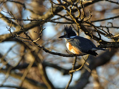 Belted Kingfisher (kconnelly03) Tags: newjersey nj beltedkingfisher millstoneriver