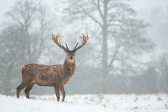 Red Deer - In Snowfall (Old-Man-George) Tags: park winter red snow cold nature wildlife january bedfordshire deer snowing blizzard reddeer woburn sleet cervuselaphus d882880