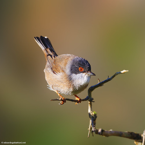 my wonderful world, Sardinian Warbler