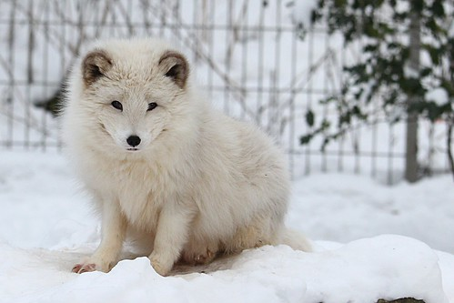 Arctic fox, From FlickrPhotos