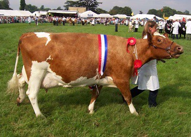 Ayrshire cow at Romsey show. Public domain