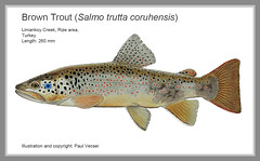 Big Turk (Fish as art) Tags: brown fish trout blacksea rare seatrout forelle anatolia zoology aure trote browntrout newspecies anadromous frell pastrva pastrmka forelli pstruh raretrout fisheriesscience forela easterntrout uniquetrout newtroutspecies salmocoruhensis endemictrout esutrout endangeredtrout threatenedtrout fishesoftheblacksea browntroutphenotype geneticsofsalmotrutta troutdiversity