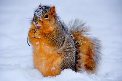 Fox Squirrel, Eastern Fox Squirrel (AndrewH324) Tags: winter snow nature animal nikon squirrel michigan annarbor acorn universityofmichigan washtenaw foxsquirrel centralcampus 18200mm d90 easternfoxsquirrel sciurusniger squirreleating michigansquirrel snowsquirrel michigandiag andrewhorne andrewrichardhorne