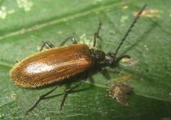 Beetle  - Lagria hirta, male (John Steedman) Tags: beetle insect durham uk unitedkingdom england   greatbritain grandebretagne grossbritannien      lagriahirta