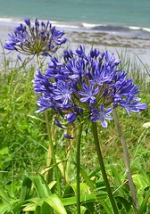 Agapanthus (janroles) Tags: outdoor nature sea flowers summer england plant blue waves beach islesofscilly fleur outside flickr olympusc750uz