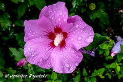 purple hibiskus (Bernsteindrache7) Tags: summer spring landscape outdoor fauna flora flower bloom blossom blume waterdrop garden lila