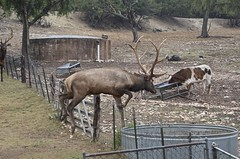 Mind if I join you for breakfast? (Pejasar) Tags: elk bull longhorn cattle feeding trough watertrough cypressspringsranch texas rock ranch mammals jump leap fence antlers