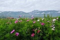 Cosmos (ababh) Tags: sichuan ganzizangzuzizhizhou easttibet khams ganzi morning cosmos grassland