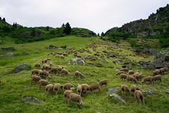 Ane gardien de troupeau en montagne (yoduc73) Tags: ane mouton troupeau montagne alpes tarentaise crot paturage alpage
