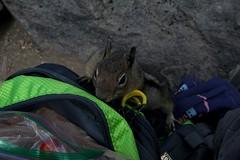 aIMG_9781 (suswann) Tags: goldenmantledgroundsquirrel mtrainiernationalpark