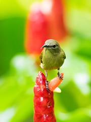 20160821-EM1X2766 (shutterblades) Tags: birds mandaizoo olivebackedsunbird olympusem1 olympusmzuiko300mmf4pro singaporezoo