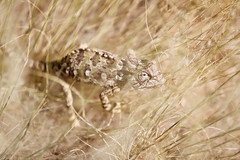 Chameleon Hiding in the Grass, Namibia (ynaka29) Tags: namibia kunene kuneneriver chameleon serracafemacamp serracafema wildernesssafaris lizard
