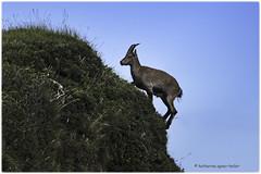 Steingeiss - die Kletterknstlerin - 5 - (Sonnenblume) Tags: steinbock capricorn niederhorn schweiz coth5 horntrger steinwild