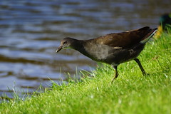 Young Moorhen. (artanglerPD) Tags: young moorhen water grass green reflection underside