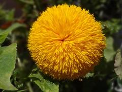 Yellow Beauty (Gartenzauber) Tags: gelb natur sony garten sonnenblume mixofflowers mimamorflowers contactgroups floralfantasy theoriginalgoldseal natureselegantshots macroelsalvador exquisiteflowers