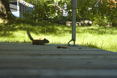 the approach (Lou Musacchio) Tags: chipmunk animal nature wood wooddeck peanuts