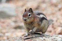 Golden-mantled Ground Squirrel (maritimeorca) Tags: animal beaverheaddeerlodgenationalforest goldenmantledgroundsquirrel groundsquirrel lostcreektrail mammal rodent squirrel