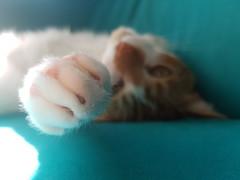 20160928_125436 (_iNfi) Tags: animal suave soft macro cat gato