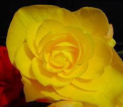 Yellow Rose (E&T - Photography) Tags: sony dsc cybershot hx90 england scotland great britain engeland schotland flower plant black background yellow rose rosa rosoideae petal bright color macro closeup contrast et roos geel gele kleur